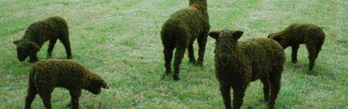 Green sheep come alive