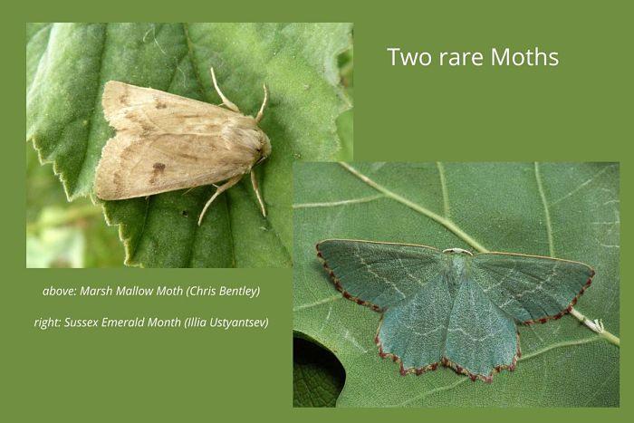 Two rare Moths